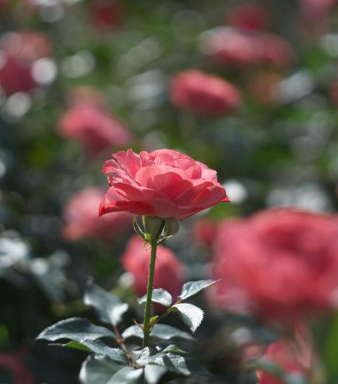 オールドレンズでバラ祭り
