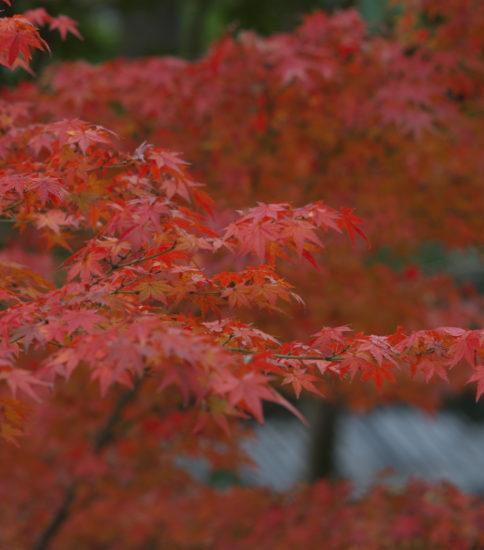 美しすぎる細川刑部邸の紅葉