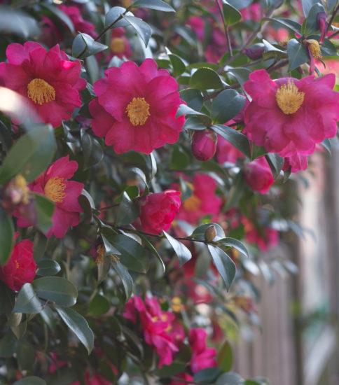 山茶花さざんか咲いた道