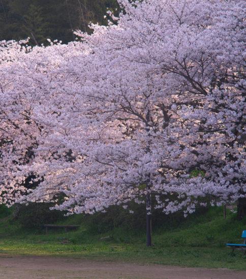 桜さくら2018
