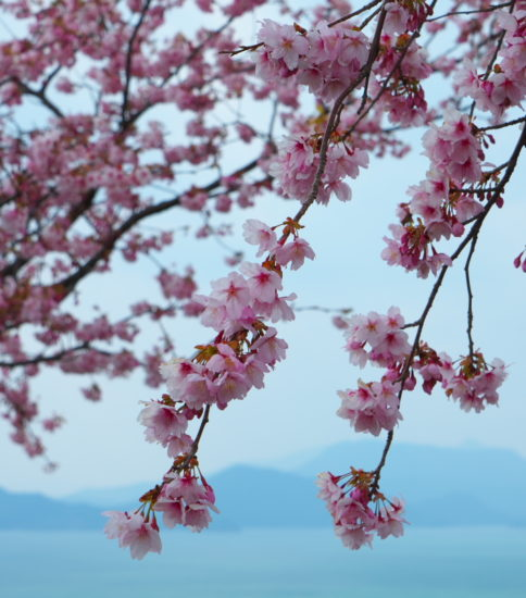 御立岬の河津桜