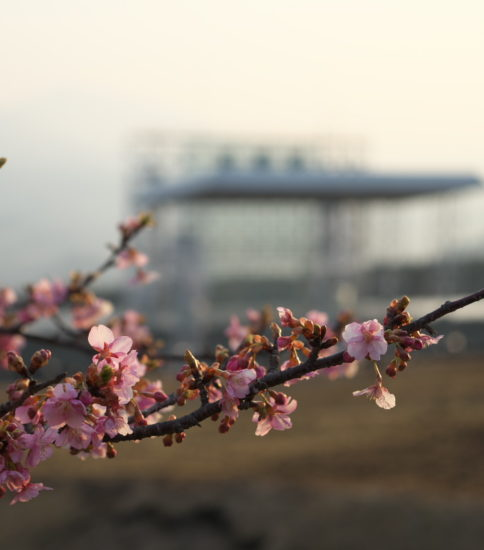 アスペクタの河津桜