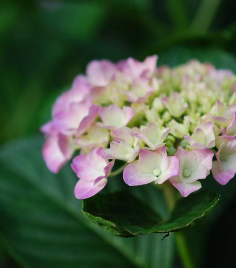 6月6日紫陽花
