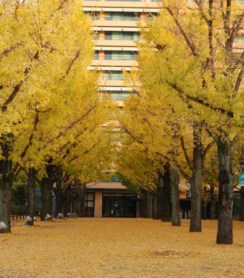 銀色並木~熊本県庁のイチョウ