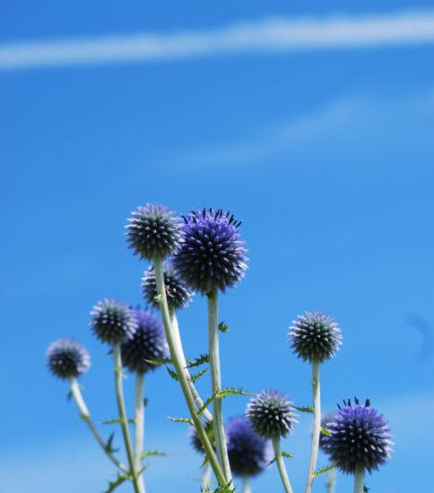 夏の花~ヒゴタイとひまわり~