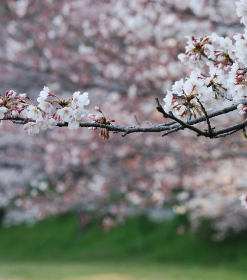 桜咲き始め~熊本鐙台公園の桜~
