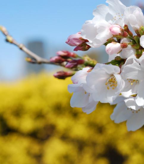 サクラツボミ~熊本県益城の桜~